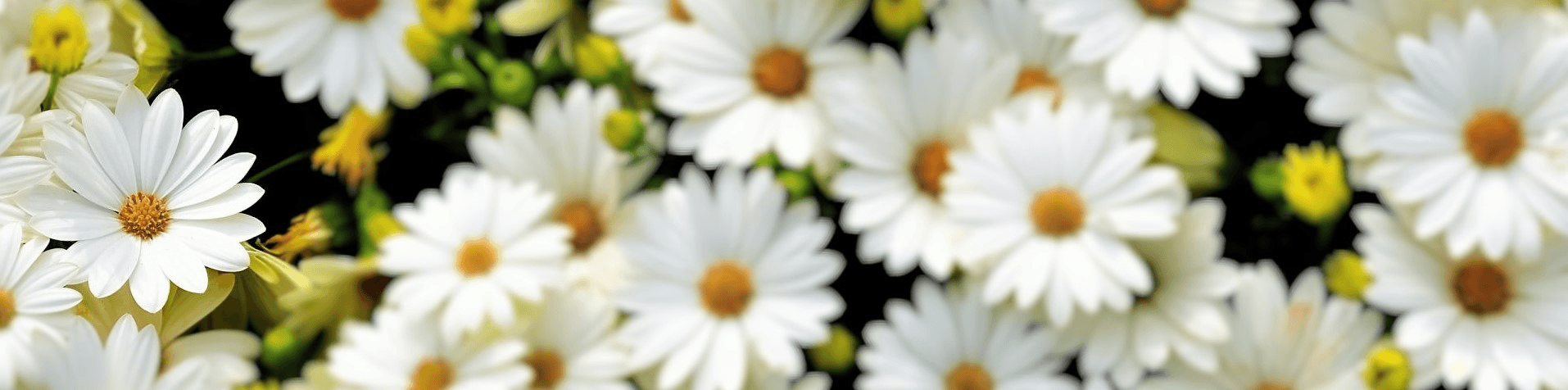 banner picture - close-up of daisies - one flower in focus